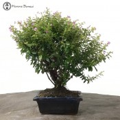 Flowering Cuphea or False Heather Bonsai