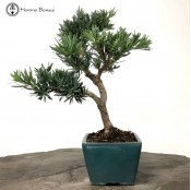 Large Podocarpus Bonsai Tree