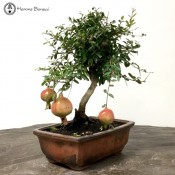 Punica granatum (Pomegranate) | Bonsai Tree