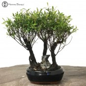 Syzygium (Brush Cherry) Bonsai Forest | Broom Style
