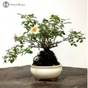 Flowering Rose Bonsai with Exposed Root Neagari