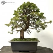 Chinese Juniper | Large