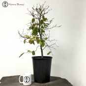 English Beech Starter Bonsai Tree