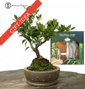 Citrus Bonsai 'Myrtiifolia' & Pruning Kit
