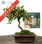 Citrus Bonsai 'Kinzu' & Pruning Kit