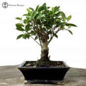 Ficus Bonsai Tree | Broom Style