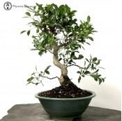 Ficus Bonsai in a Tokoname Bonsai Pot