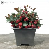 Gaultheria Accent Plant