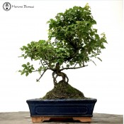 Large sageretia bonsai tree | herons bonsai