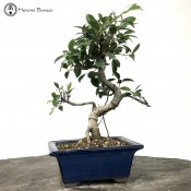 Ficus Bonsai in a Japanese Pot