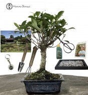 FICUS BONSAI BUNDLE