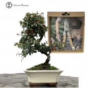COTONEASTER BONSAI BUNDLE