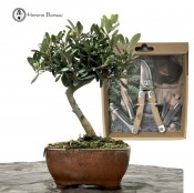 SPECIAL OLIVE BUNDLE (FRUITING)
