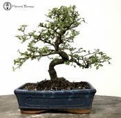 Chinese Elm  |£69 S-Shape