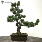 japanese white pine bonsai tree
