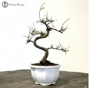 Chinese Elm Semi-Trained Starter Tree