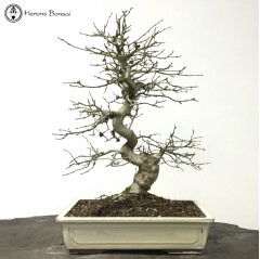 Korean Hornbeam | Japanese Bonsai Pot