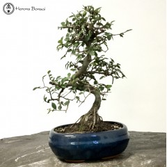 Ulmus parvifolia 'Chinese Elm'  Bonsai Tree | £49