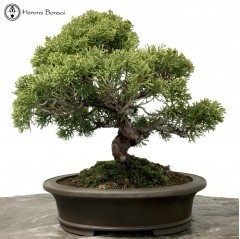 chinese juniper itiogawa bonsai tree