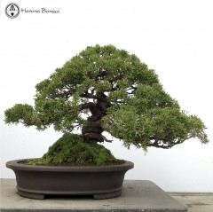 Chinese Juniper | Itiogawa Bonsai