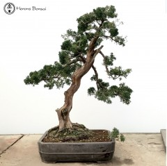Large Chinese Juniper | COLLECTION ONLY