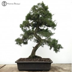 Chinese Juniper 'Itoigawa' | COLLECTION ONLY