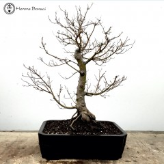Beni-Chidori Maple Bonsai