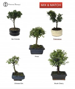 2 small bonsai trees | special offer