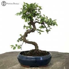 Ulmus parvifolia 'Chinese Elm'  Bonsai Tree | £59