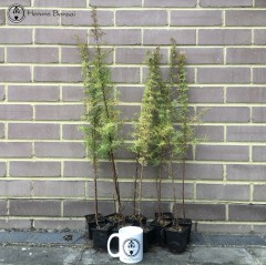 Common Juniper Forest Bundle | 10 Trees