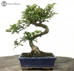Zanthoylum piperitum 'Japan Pepper' | Herons Bonsai