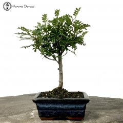 Japan Pepper Bonsai Tree