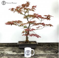 Mountain Maple Bonsai Tree