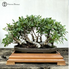 Ficus Bonsai Forest & Display Stand | COLLECTION ONLY