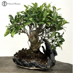 Ficus Bonsai in a Handmade Pot | COLLECTION ONLY