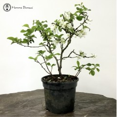 Japanese Quince Starter Tree