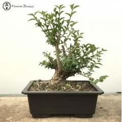 Large Chinese Privet