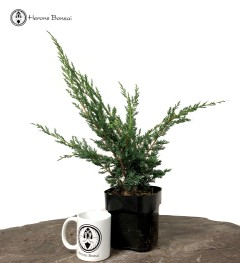 Juniper Blaaws Starter Tree