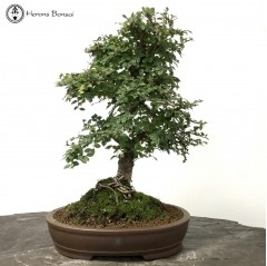 Chinese Elm Mother & Daughter Landscape