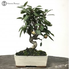 Miniature Crab Apple Bonsai