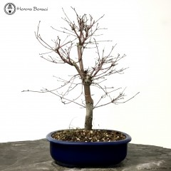 Red Deshojo Maple in Blue Plastic Pot