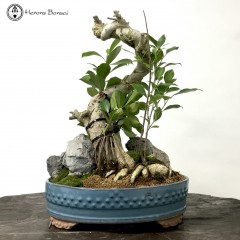 Ficus Bonsai Landscape | Clearance | COLLECTION ONLY