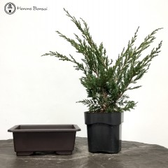 DIY Chinese Juniper