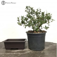 DIY Berberis Bonsai