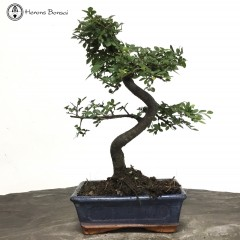 Ulmus parvifolia Chinese Elm Bonsai Tree