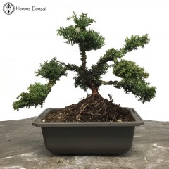 Cryptomeria Japonica 'Vilmoriana' Bonsai Tree