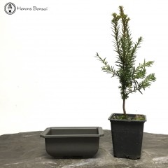 DIY Yew Bonsai