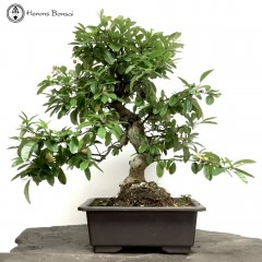 Bonsai Trees Herons Bonsai Trees Online Indoor Bonsai And Outdoor Bonsai Uk Next Day Delivery