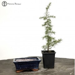 Cedar of Lebanon Starter Tree & Ceramic Pot