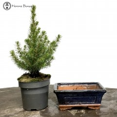 DIY Picea Conica Bonsai with Ceramic Pot